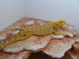 bearded dragon super yellow u2022 bearded dragon org