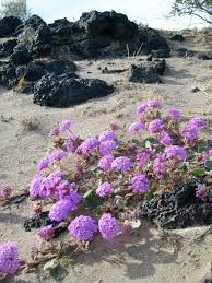 mojave desert native plants desert photography