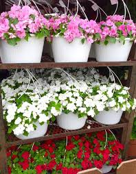 impatiens flowers seasonal flowers in stock hanging baskets of impatiens yelp