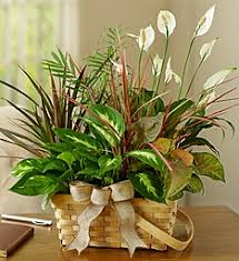 Green Plants Green Plants Send Bamboo Plants For Any Occasion 1 800 Flowers Com