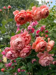 343 best peonies images on pinterest flowers gardens and