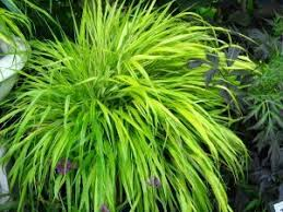 ornamental grasses summerhill garden centre