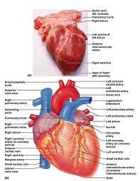 Sheep Heart Anatomy Quiz Anatomy And Physiology Quiz Inspiration Anatomy And Physiology