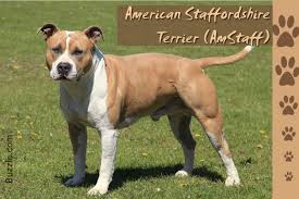 american pit bull terrier lab mix stunning facts about the different breeds of pit bulls with pictures