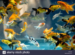 aquarium fish species red wig high fin platy india stock photo