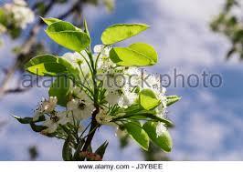 white blossom flowering ornamental pear in melbourne australia