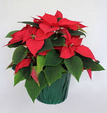 expert poinsettia is not poisonous unless you eat 500 leaves