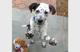 american pitbull terrier dalmatian mix dalmation puppy overload