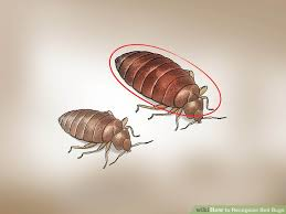 bugs in bedroom how to recognize bed bugs 12 steps with pictures wikihow