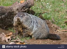 woodchuck aka groundhog marmota monax digging at den e usa stock