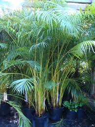Good Backyard Trees by Areca Palm Good For Privacy Around Pool Areas Call For An