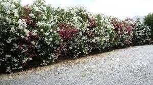 Flowering Privacy Shrubs - common name oleander scientific name nerium oleander height 10
