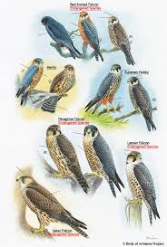 plate 12 falcons merlin and hobby a field guide to birds of
