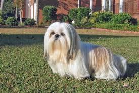 list of shih haircut shih tzu grooming shih tzu haircuts puppy cut i shih tzu not