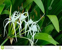 crinum lily cape lily poison bulb stock photo image 54420687