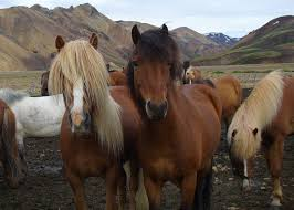 Massachusetts How Far Can A Horse Travel In A Day images Iceland horseback riding in iceland with equitours riding vacations jpg