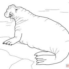 seal coloring page elephant seal coloring page archives mente beta most complete
