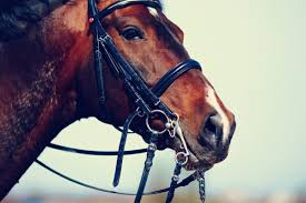 How To Tell If A Horse Is Blind Horse Idioms And Proverbs Oxfordwords Blog