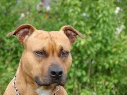 american pit bull terrier zucht staffordshire bullterrier charakter wesen hunde fan de