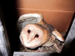 barn owls in the stairwell at work