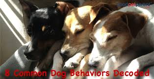 Why Do Dogs Lick The Sofa Why Does My Dog Do That 8 Common Dog Behaviors Decoded Good Pet