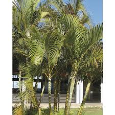 Lowes Moreno Valley by Shop 2 Gallon Areca Palm Ltl0010 At Lowes Com