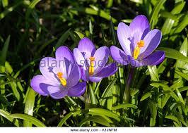 spring kew gardens crocuses flower stock photos u0026 spring kew
