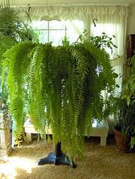 Low Light Indoor Trees Care For Indoor Ferns Indoor Ferns Fern And Indoor