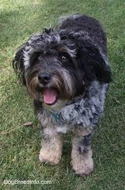australian shepherd quesnel aussiedoodle dog breed information and pictures