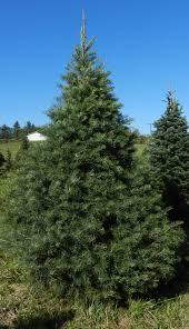 Pine Tree Barn Wooster Oh Our Trees Twinsberry Tree Farm
