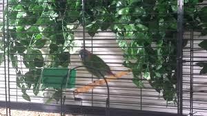 veelkleuren papegaaiamadine erythrura coloria red eared