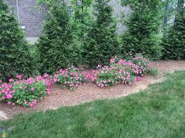 drift roses pink drift roses for sale the planting tree