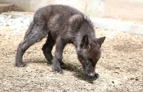 gray wolf stock 37 black wolf pup by hotnstock on deviantart