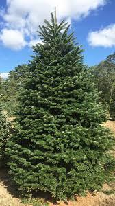 wholesale cut christmas trees hartikka tree farms