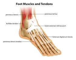 Top Foot Anatomy Top 5 Exercises To Rehab Achilles Tendinitis Builtlean