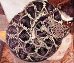 Image result for Crotalus adamanteus