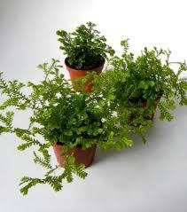 mini mossy fern plants 2