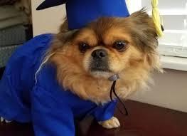 dog graduation cap and gown dog costume pet graduation cap and gown dog cap dog beds