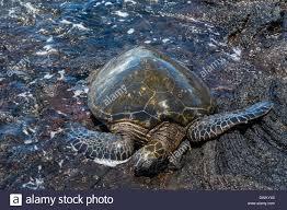 sea turtle chelonioidea punaluu black sand beach on big island