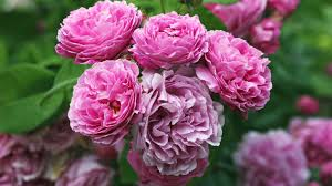 Fragrant Flowers For Garden - 8 of the most fragrant flowers for your garden