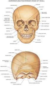 best 25 skin anatomy ideas on pinterest anatomy