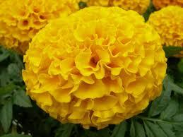 7 ways to use marigold flowers diy network blog made remade diy