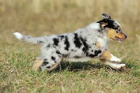 d b australian shepherds australian shepherd puppy running on grass field kimballstock