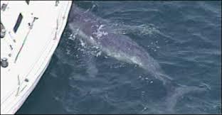 Filhote de baleia confunde iate com mãe