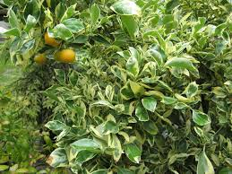 citrus plants how to grow and care for miniature orange