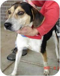 australian shepherd virginia turnip adopted dog charlottesville va australian shepherd