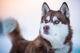 american eskimo dog new mexico study shows many native american dog breeds have asian origin