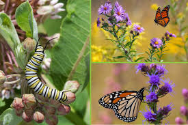 milkweed losses may not fully explain monarch butterfly declines