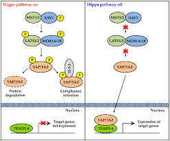 si e social hippopotamus genes free text targeting the hippo signaling pathway for