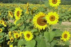 ornamental sunflower varieties tested in 2001 nc state extension